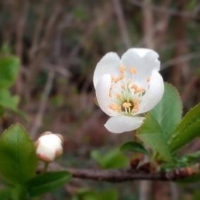 fiore_bianco_bocciolo
